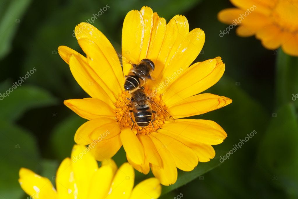 The Bee collecting pollen on a flower — Stock Photo #1027816