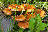 Amicable family of mushrooms toadstool a — Стоковое фото