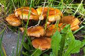 Vänskaplig familj av svampar flugsvamp en — Stockfoto