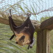 Foto Stock: Flying fox