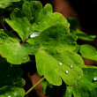 Stock Photo: Drops on leaves