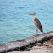 Stock Photo: Grey heron on coast of ocean