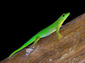 Very green lizard — Stock Photo