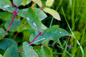 Drops on leaves on summer to a garden — Stock Photo