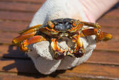 The crab in a hand — Stock Photo