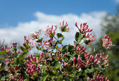 Honeysuckle blossoming on a background o — Stock Photo