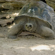 Stock Photo: Old turtle. symbol Seychelles