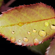 Stock Photo: Drops on leaves at summer in the garden