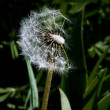 Dandelion on a wind — Stock Photo