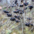 Stock Photo: Black berries in late autumn at gard