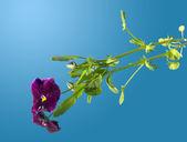 Viola na lustro — Zdjęcie stockowe