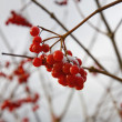 Stock Photo: Guelder-rose red. Autumn