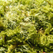 Green moss texture - Stock Photo