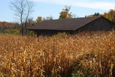 Hidden in the corn (horizontal) — Stock Photo