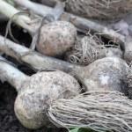 Garlic bulbs on a green grass — Stock Photo
