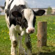 Cow — Stock Photo #1143258