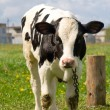Cute baby cow — Stock Photo #1143284