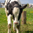 Cow — Stock Photo #1143307