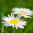 Daisy — Stock Photo