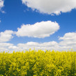 Royalty-Free Stock Photo: A rape field