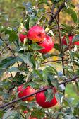 Manzano con manzanas rojas — Foto de Stock