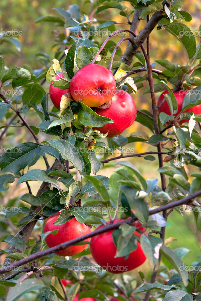 Apple-tree with red apples — Stock Photo © semenovpv #1160627