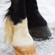 Black and white hoofs — Stock Photo