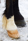 Black and white hoofs — Stock Photo