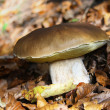 Stock Photo: Edible boletus
