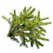 Stock Photo: Fir branch
