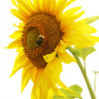 Yellow sunflower. - Foto Stock