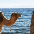 Camel near sea. - Stock Photo