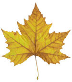 Autumn maple leaf. — Stock Photo
