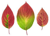 Three autumn red leaves — Stock Photo