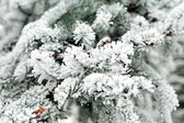 Snowbound branch of fir. — Stock Photo