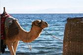 Camel near sea. — Stock Photo