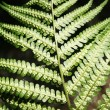 Fern — Stock Photo #1022986