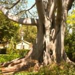 Fig Tree — Stock Photo