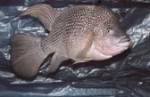 Cichlid — Stock Photo