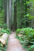 Redwood NP — Stock Photo
