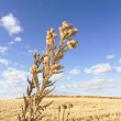 Harvest wheat — Stock Photo