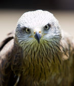 Bird of prey — Stock Photo