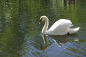 White swan on a pond — Stock Photo