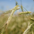 Stock Photo: Ears of rye (wheat)