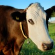 Brown cow with white muzzle — Stock Photo #1043297