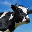 Close-up view of horned cow — Stock Photo #1043402