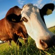 Curious brown cow — Stock Photo