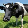 Curious cow at green pasture - Stock Photo