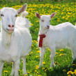She-goat and goatling - Stock Photo