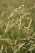 Rye (wheat) field — Stock Photo